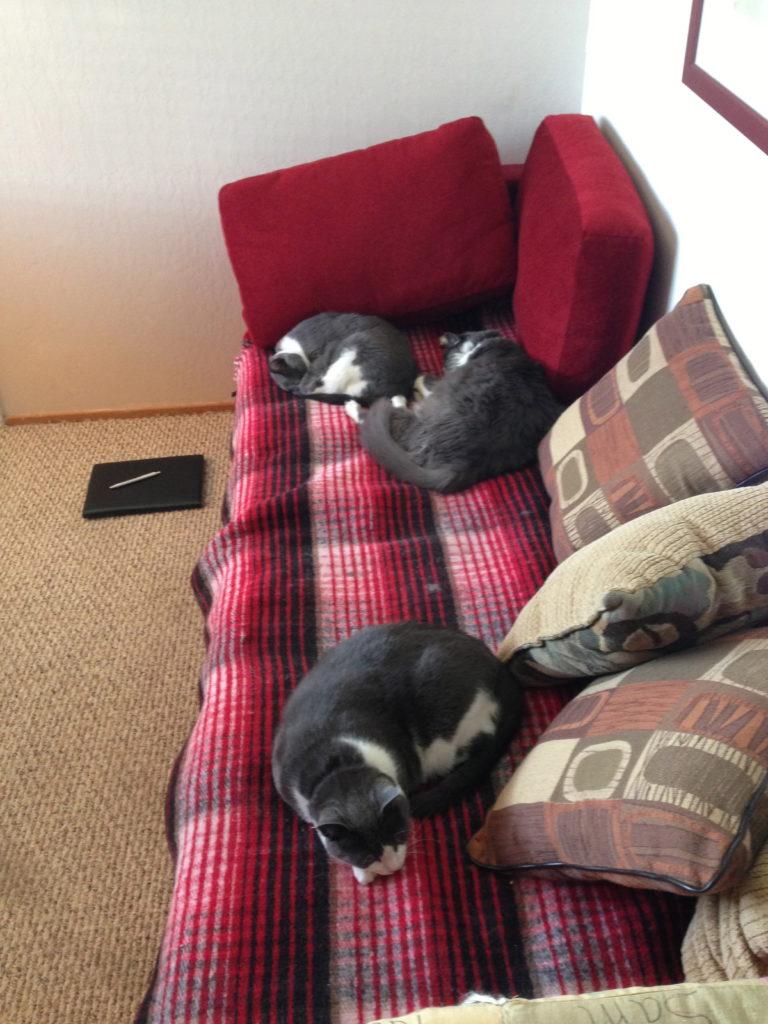 3 gray cats